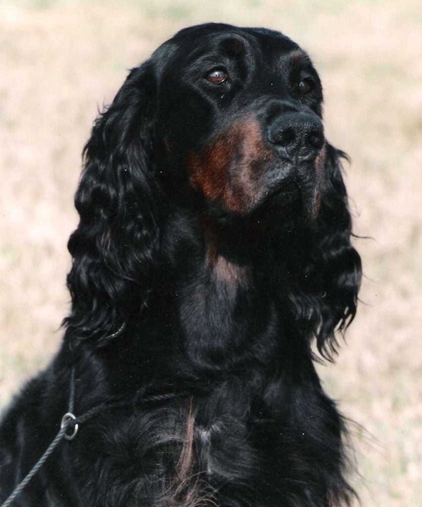 Black and tan dog head portrait