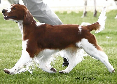 red and white dog on the move
