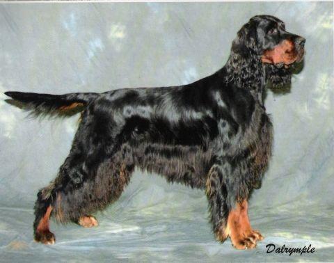Shiny coated black dog